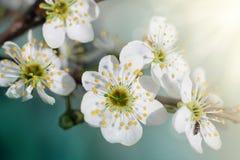 Цветя ветвь конца сливы Стоковое Фото