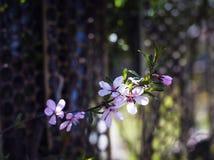 Цветя ветвь миндалины Стоковые Изображения