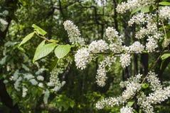 Цветя ветвь птиц-вишни Стоковые Изображения RF