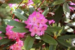 Цветя ветвь сада рододендрона весной Розовый цветок азалии Стоковые Фотографии RF