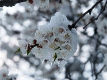 Цветя ветвь фруктового дерев дерева в снеге и льде Стоковое Изображение
