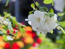Цветя ветвь Яблока на предпосылке желтых и красных тюльпанов Фокус на переднем плане, запачканной предпосылке Стоковое Изображение