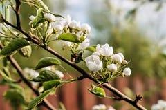 Цветя ветвь яблока стоковое фото rf