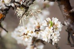 Цветя вишневое дерево Стоковое Изображение
