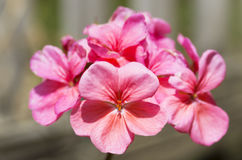 Цветя гераниум, розовый Стоковые Фотографии RF