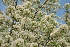 Цветя груша Стоковое Изображение