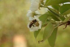 Цветя груша Стоковая Фотография