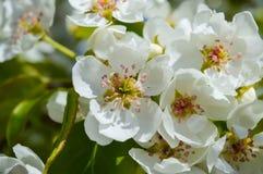 Цветя грушевое дерев дерево в саде Стоковое Изображение