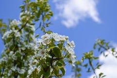 Цветя грушевое дерев дерево в саде Стоковые Изображения