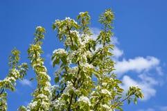 Цветя грушевое дерев дерево в саде Стоковое фото RF