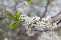 Цветя грушевое дерев дерево цветет белизна Стоковые Изображения