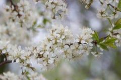 Цветя грушевое дерев дерево цветет белизна Стоковое Изображение