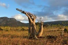 Цветя дерево бутылки на острове Сокотры, Йемене Стоковая Фотография RF