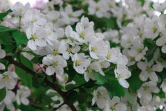 Цветя дерево вишневого цвета стоковая фотография