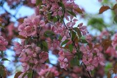 Цветя дерево вишневого цвета стоковое изображение rf