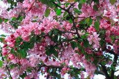 Цветя дерево вишневого цвета стоковая фотография rf