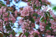 Цветя дерево вишневого цвета стоковое изображение