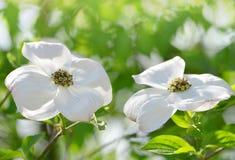 Цветя дерево кизила или Cornus Флорида стоковое изображение