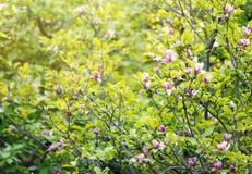 Цветя дерево магнолии Китайское цветение магнолии с фиолетовыми и белыми в форме тюльпан цветками стоковая фотография