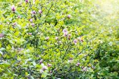 Цветя дерево магнолии стоковая фотография