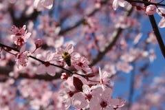 Цветя деревья весны в Болгарии в марте в Petrich около центра бульвара стоковые изображения rf