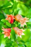 Цветя дерево гранатового дерева Стоковые Изображения