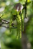 Цветя дерево грецкого ореха, группа в составе catkin грецкого ореха и листья детенышей Стоковая Фотография RF