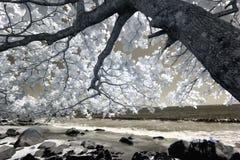 Цветя дерево на береге, ультракрасном Стоковая Фотография RF