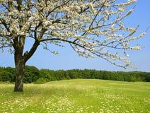 Цветя дерево на луге стоковые фото