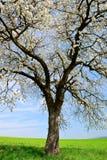 Цветя дерево на луге стоковая фотография rf