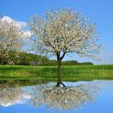 Цветя дерево на луге стоковые изображения rf