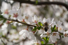 Цветя дерево Стоковая Фотография