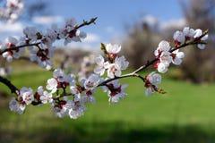 Цветя деревья абрикоса стоковая фотография