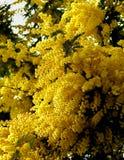 Цветя желтая мимоза Стоковые Изображения RF