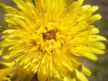 Цветя желтое officinale Taraxacum цветка одуванчика Постоянный herbaceous завод Стоковые Изображения