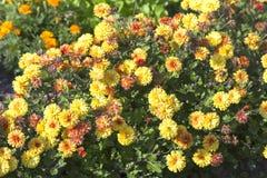 Цветя желтые хризантемы Стоковое фото RF