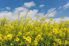 Цветя заводы рапса против голубого неба в конце вверх Сырье для корма для животных, масла рапса и био топлива Стоковая Фотография RF