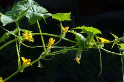 Цветя завод огурца с завязью Стоковая Фотография RF