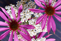Цветя заводы эхинацеи и тысячелистника Стоковое фото RF
