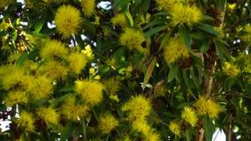 Цветя золотой Wattle Стоковые Фотографии RF