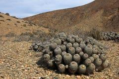 Цветя кактусы в пустыне, национальном парке Llanos De Challe, Atacama, Чили Стоковые Изображения