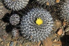 Цветя кактусы в пустыне, национальном парке Llanos De Challe, Atacama, Чили Стоковая Фотография