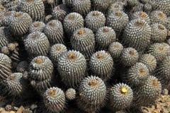 Цветя кактусы в пустыне, национальном парке Llanos De Challe, Atacama, Чили Стоковое Изображение