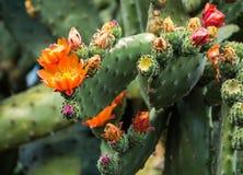 Цветя кактус шиповатой груши Стоковая Фотография