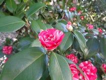 Цветя камелия в солнечном саде Стоковые Фото