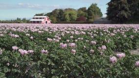 Цветя картошка Field в ветерке 4K UHD сток-видео