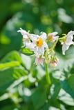 Цветя картошки в огороде Стоковое Изображение