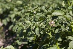 Цветя картошки, конец-вверх Стоковое фото RF