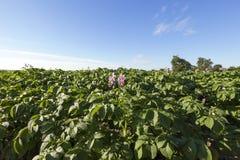 Цветя картошки, конец-вверх Стоковое Фото