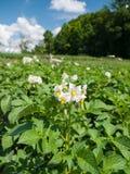 Цветя картошки Стоковая Фотография RF